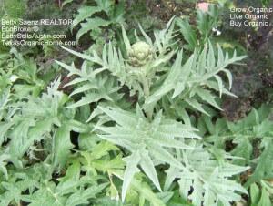 Artichoke Plant in My Organic Front Yard Gardens
